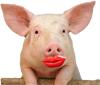 lipstick-on-pig-thumb