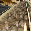 live-export-sheep